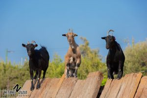 עיזים. תמונה מאתר החווה של חווה